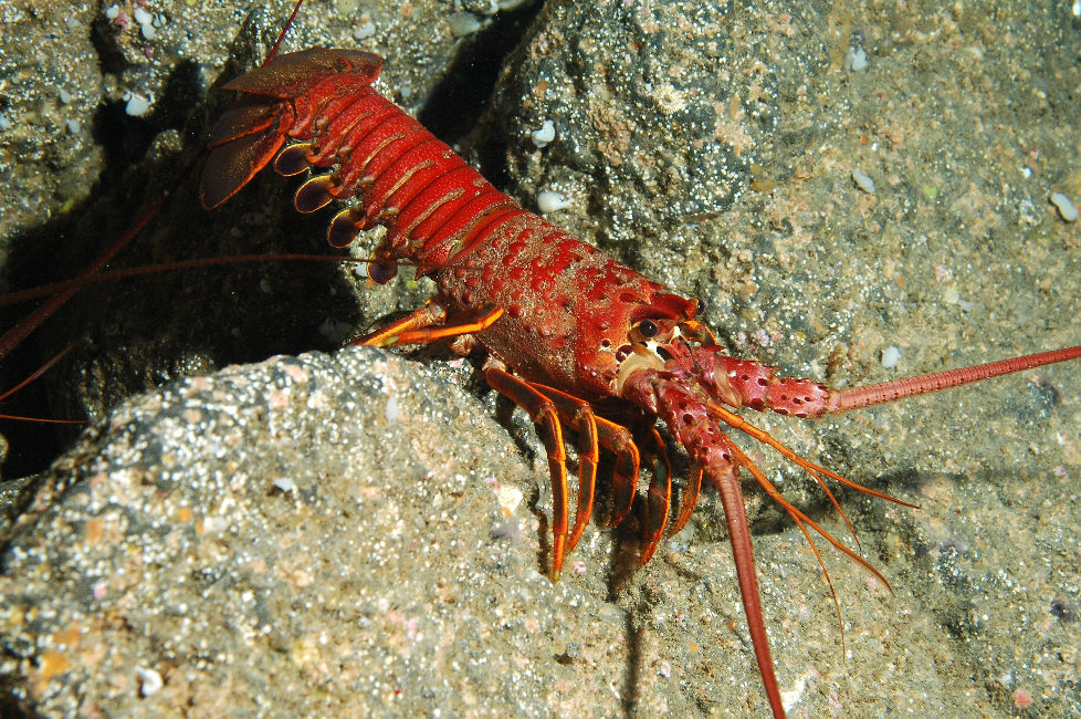 Facts about california spiny lobster best lobster 2017 for Lobster fishing california